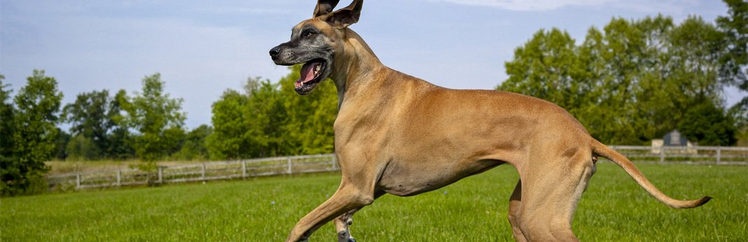 great-dane—breed-facts-and-temperament