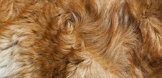 hackles in dog's hair