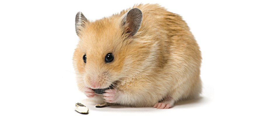 Hamster Storing Food But Not Eating