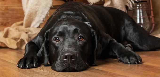 heatworm sick dog
