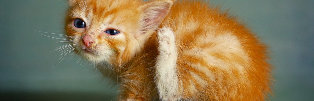 mange in cats - causes and treatment