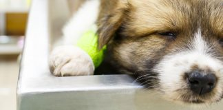 mastocytoma in dogs, causes and treatment