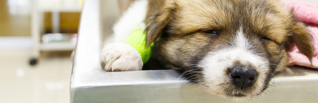 mastocytoma-in-dogs,-causes-and-treatment