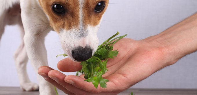 parsley for dogs