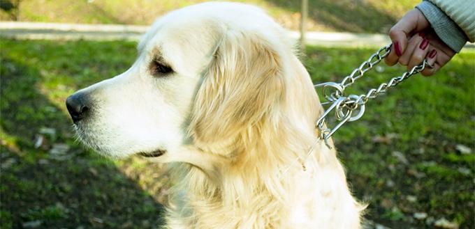 pinch collar on a dog