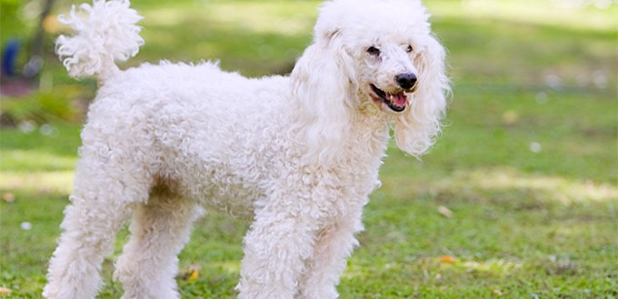 poodle emotional support breed
