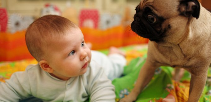 pugs for babies