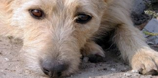 rimadyl for dogs - uses and side effects guide