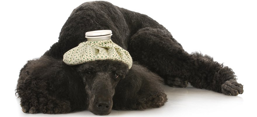 thermometers for dogs