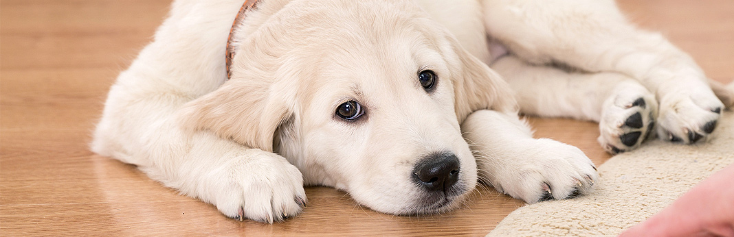 Vestibular Disease In Dogs: Causes & Treatment | My Pet Needs That