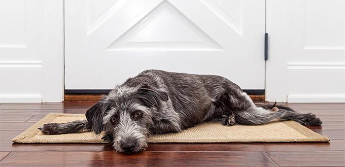 vestibular disease in dog