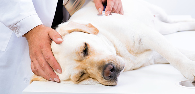 Causes of Canine Hernia