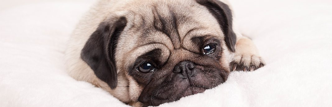 How to Remove Your Dog's Tear Stains