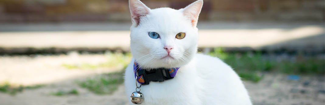 Why-Do-Some-Cats-Have-Two-Different-Coloured-Eyes