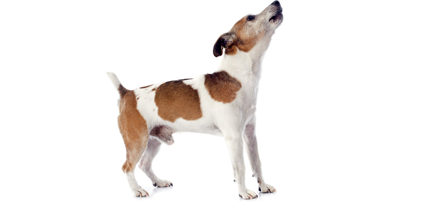 barking dog