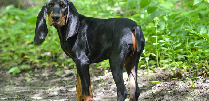 black & tan coonhound for students