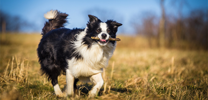 border collie smart breed