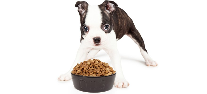 boston-terrier-eating
