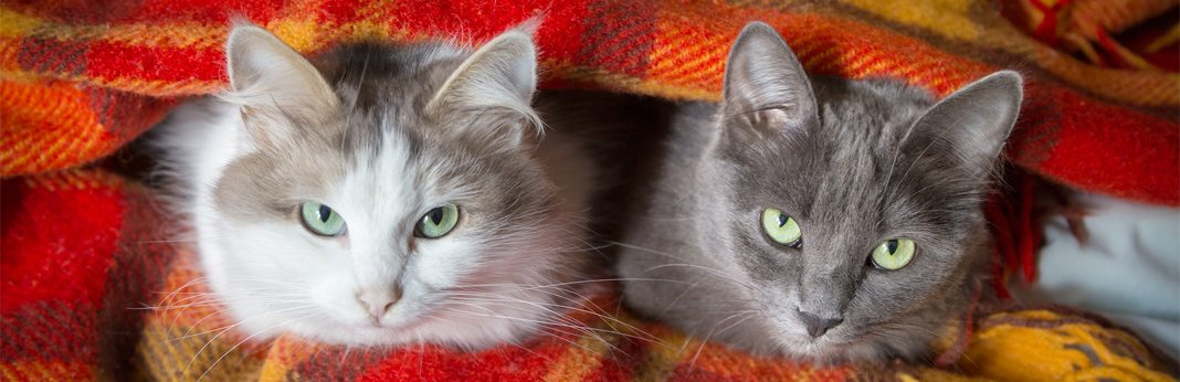 can cats catch colds - symptoms and treatment