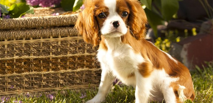 cavalier king charles spaniel for students