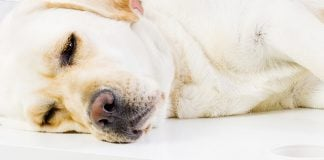 cerenia for dogs - uses and side effects