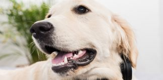 dog teeth chattering - causes and what to do