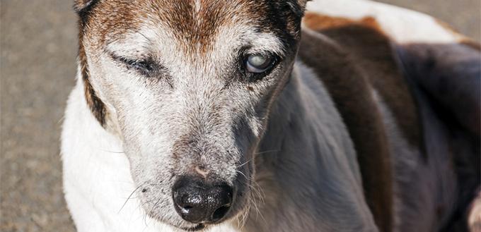 dog with glaucoma