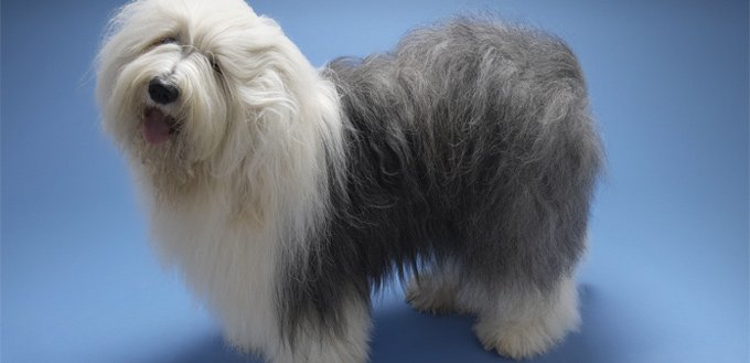 dog with matter hair