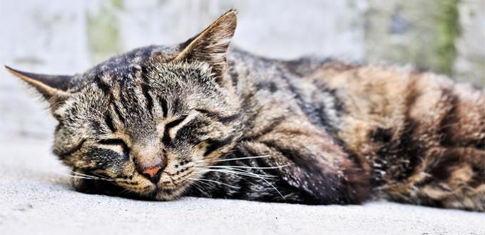 feline snoring