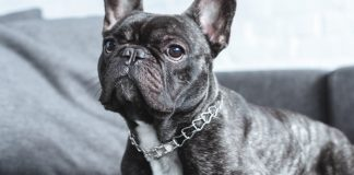 french bulldog - breed facts & temperament