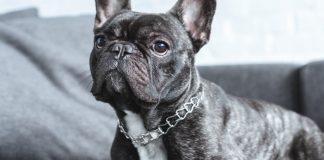 french bulldog - breed facts & temperament