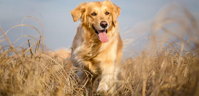 golden retriever smart breed