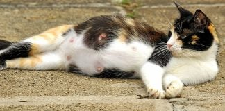how long do cats stay in heat for