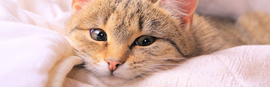 how-to-clean-your-cat's-eyes