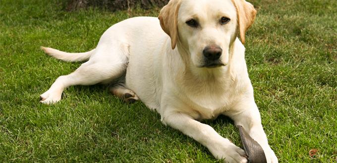 labrador retriever smart breed