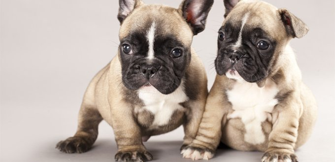 little french bulldogs