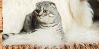 Lyme Disease in Cats