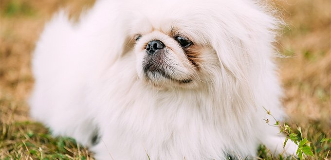 pekingese for students