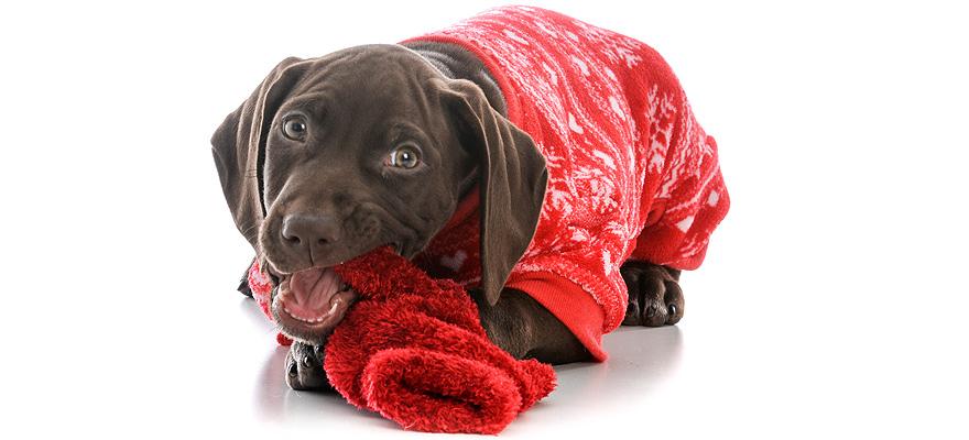 pooch in pajamas
