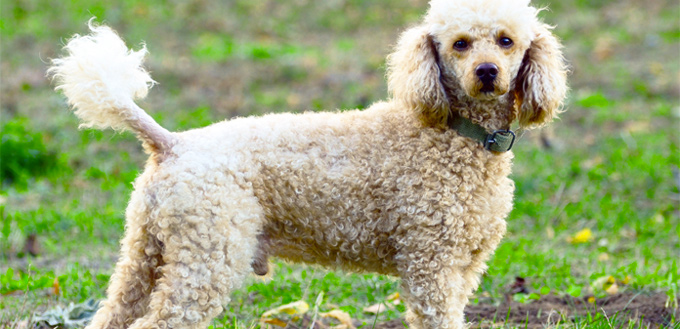 poodle breed