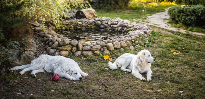 retrievers smart dogs