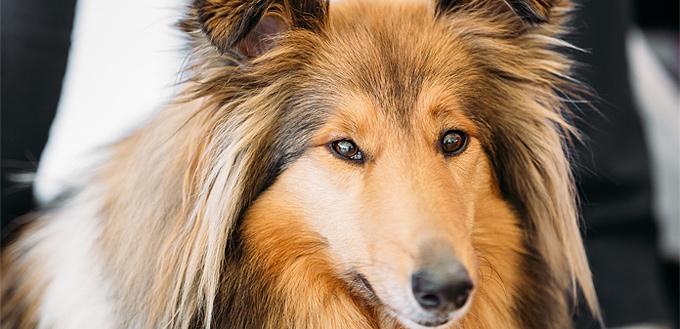 shetland sheepdog smart breed