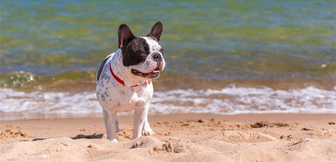 temperament of a french bulldog