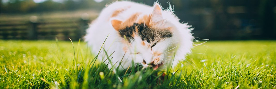 why-do-cats-eat-grass