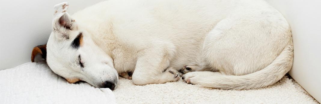 why-do-dogs-run-in-their-sleep