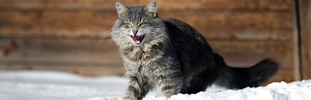 Aggression in Cats: Causes & Symptoms