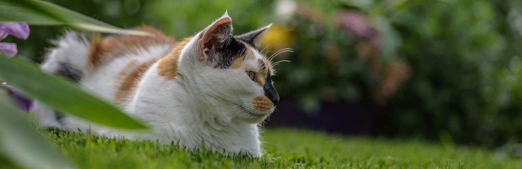 Are Calico Cats Always Female My Pet Needs That