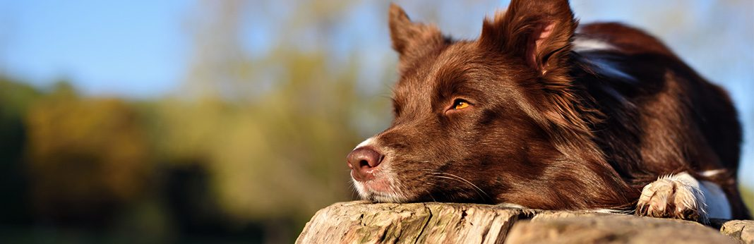 Cortisone for Dogs Uses and Side Effects