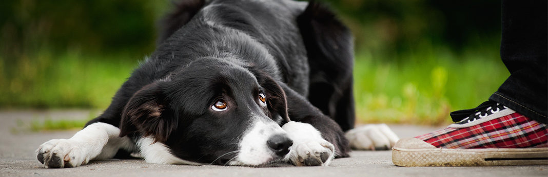 do dogs feel guilt - everything you need to know