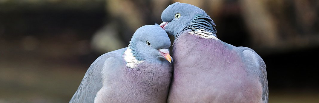 Doves and Pigeons: An Ultimate Guide on Rearing Them as Pets